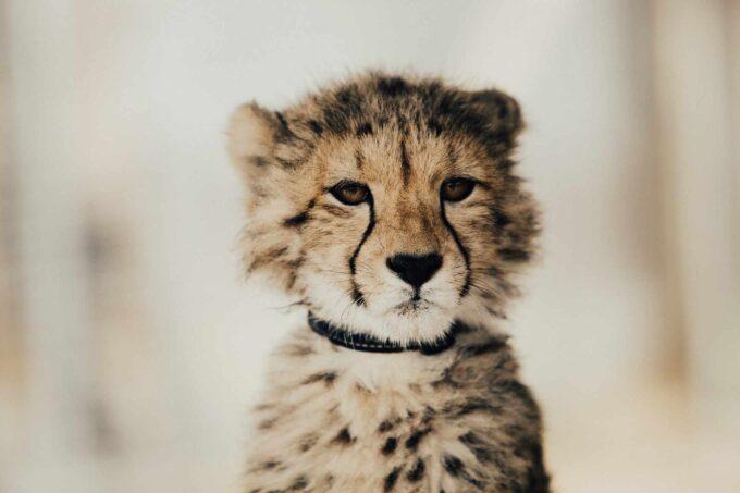 młody gepard