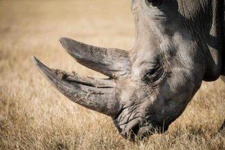 20 Interesujących Ciekawostek, Informacje i Faktów o Nosorożacach