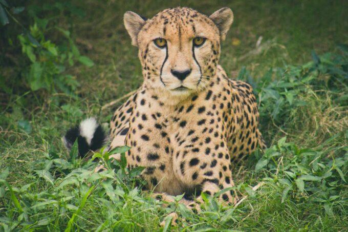 odpoczywający gepard