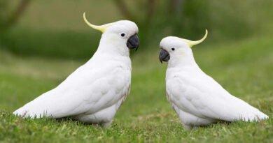papugi kakadu