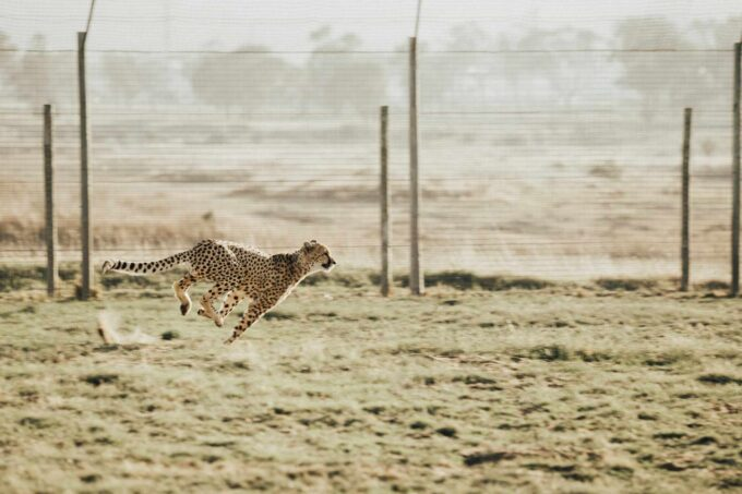 biegnący gepard