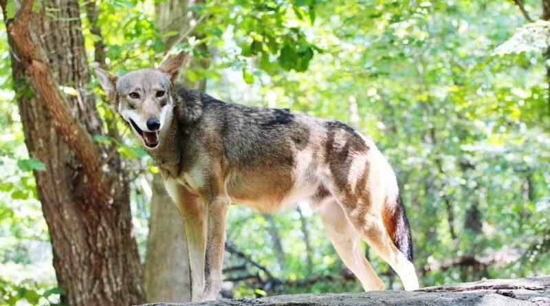 czerwony wilk