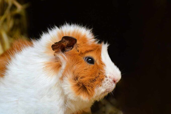 młoda świnka morska