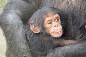 Szympans - Mało znane ciekawostki, informacje i fakty