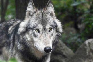 26 Żarłocznych Ciekawostek o Wilku Szarym