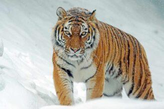 Tygrys Syberyjski - Ważne Informacje, Ciekawostki i Fakty