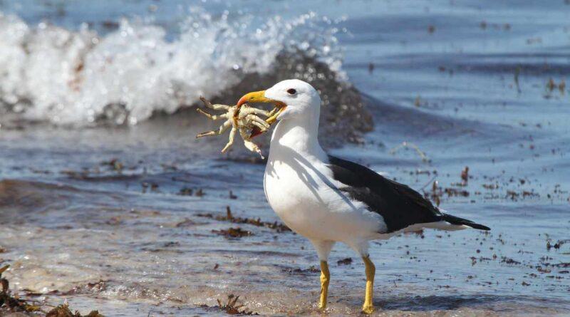 albatros na plaży