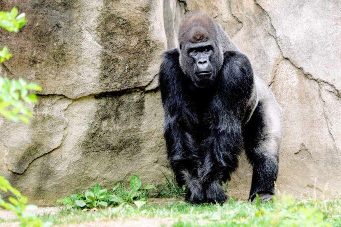 duży goryl