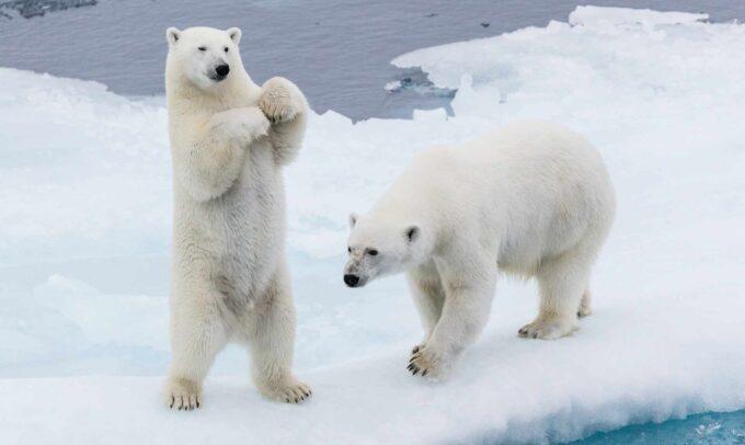 2 niedźwiedzie polarne