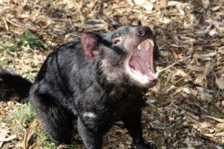 Diabeł Tasmański - Interesujące Ciekawostki, Informacje i Fakty