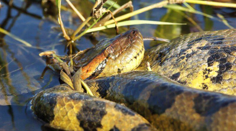 gad anakonda