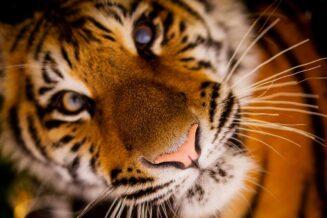 23 Ciekawostki o Tygrysach dla Dzieci
