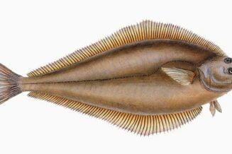 Ryba Halibut - Zaskakujące Ciekawostki, Informacje i Fakty