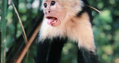 kapucynka wystawia język