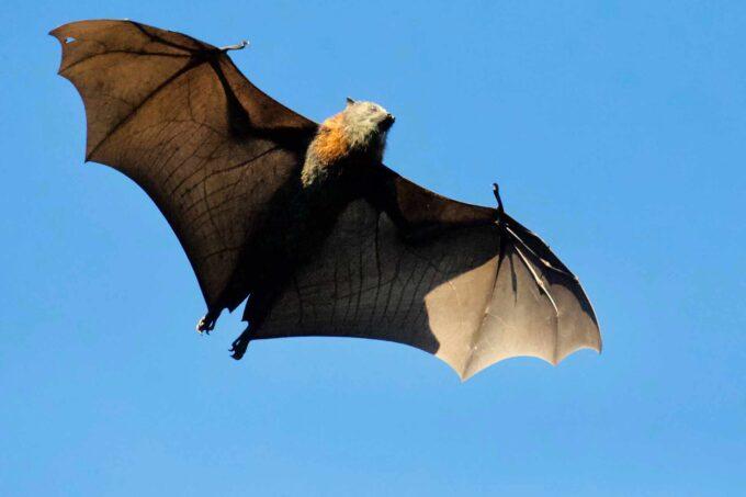 latający nietoperz