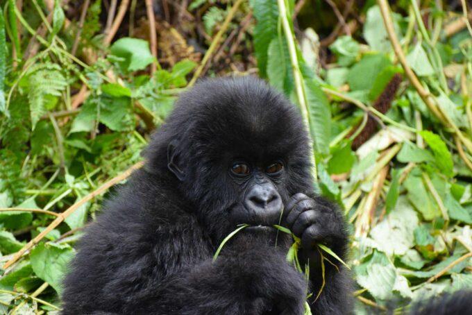 młody goryl