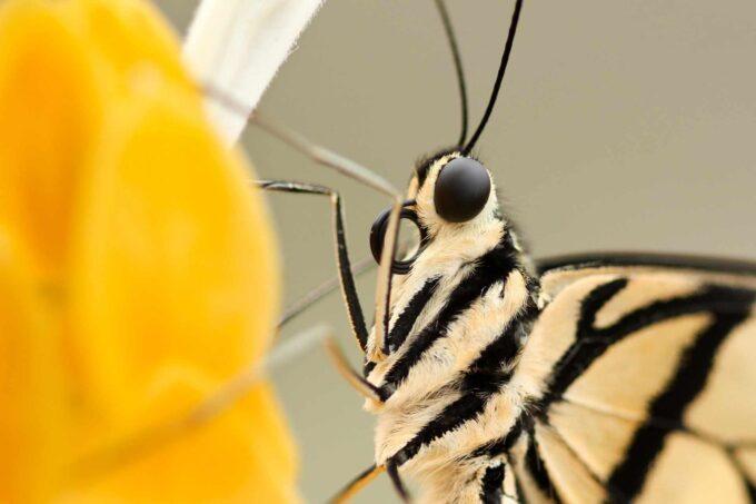 motyl zbliżenie