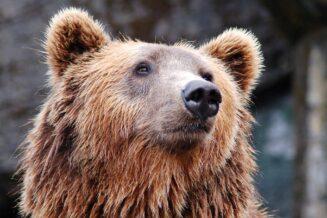 Niedźwiedź brunatny - 10 Fascynujących Ciekawostek
