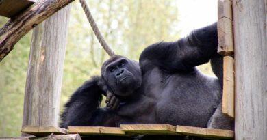 odpoczynek małpy