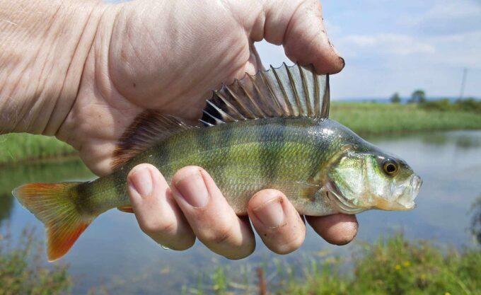 ryba okoń