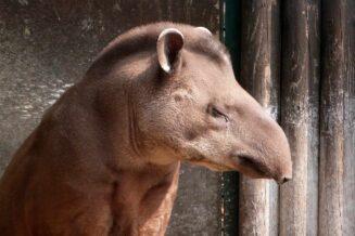 Tapir - 27 Wybranych Ciekawostek