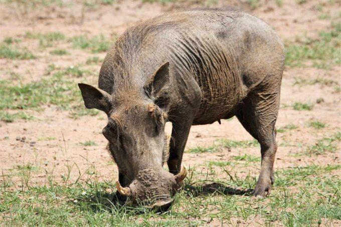 ssak świniowaty