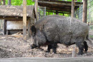 10 Interesujących Ciekawostek o Świniodzikach