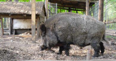 świniodzik