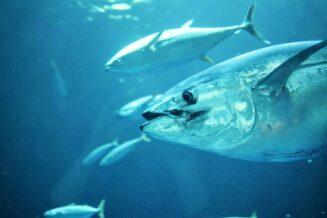 Jakie ryby występują w Oceanie Spokojnym?