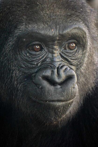 uśmiechnięty goryl