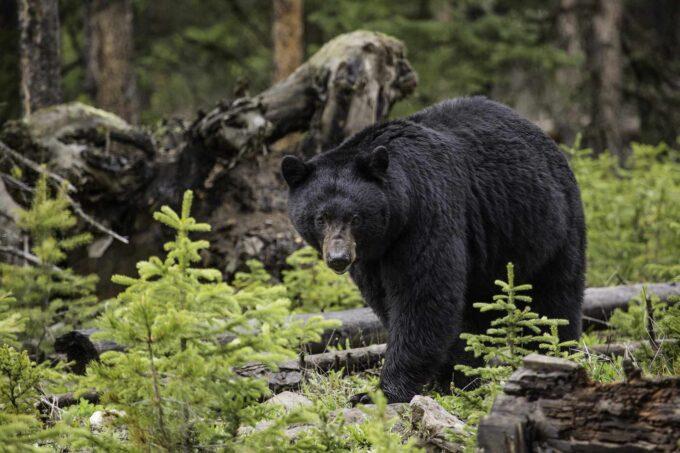 czarny niedźwiedź amerykański