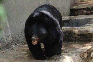 16 Ciekawostek i Informacji o Niedźwiedziu Himalasjkim