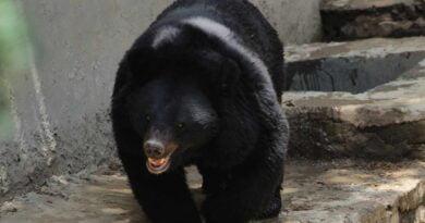himalajski niedźwiedź