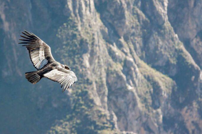 kondor w locie