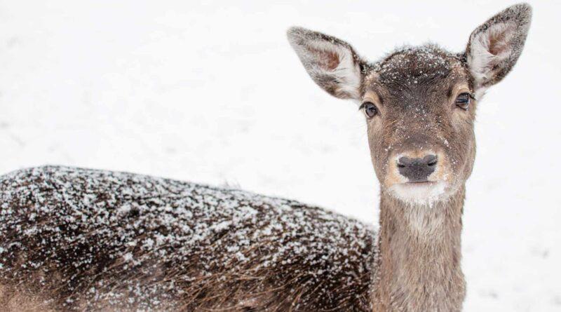 sarna w śniegu