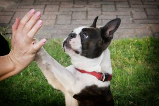 Boston terrier - 10 ciekawostek, informacji i faktów