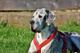 Dog niemiecki - 10 ciekawostek oraz informacji