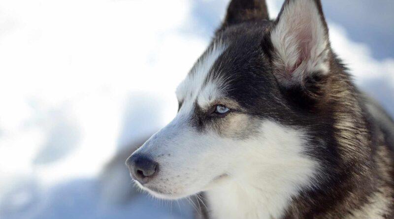 Husky syberyjski