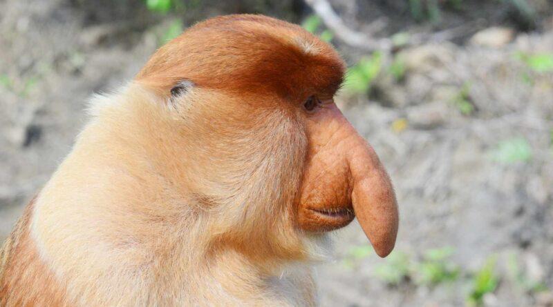 głowa nosacza