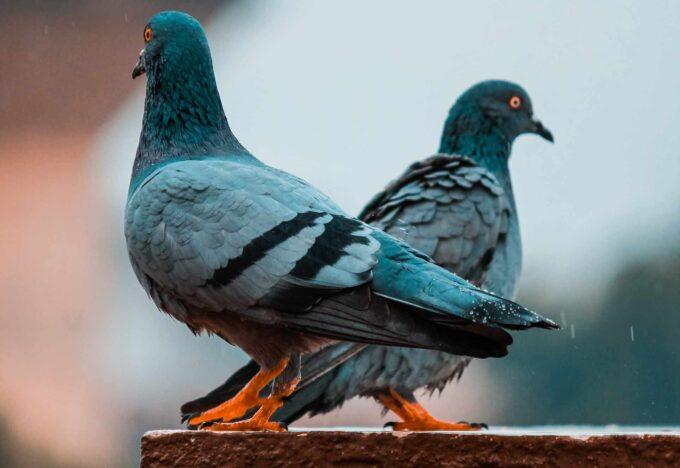dwa gołębie