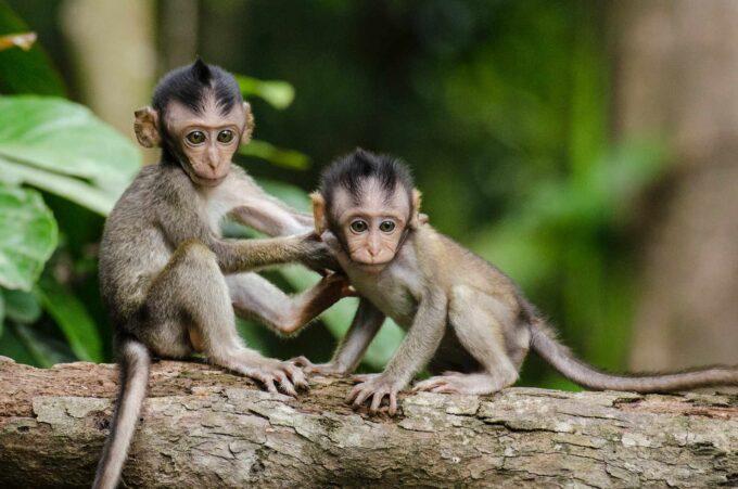 małe małpki