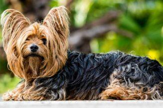 Yorkshire terrier - 10 ciekawostek, informacji i faktów
