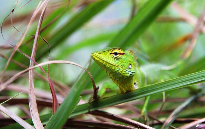 zielona jaszczurka agama