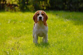 10 Interesujących Ciekawostek o Psach Beagle