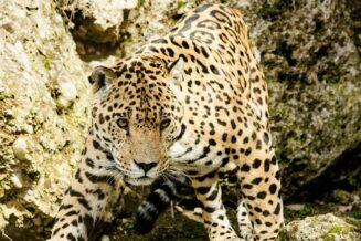 10 Zaskakujących Ciekawostek o Jaguarach