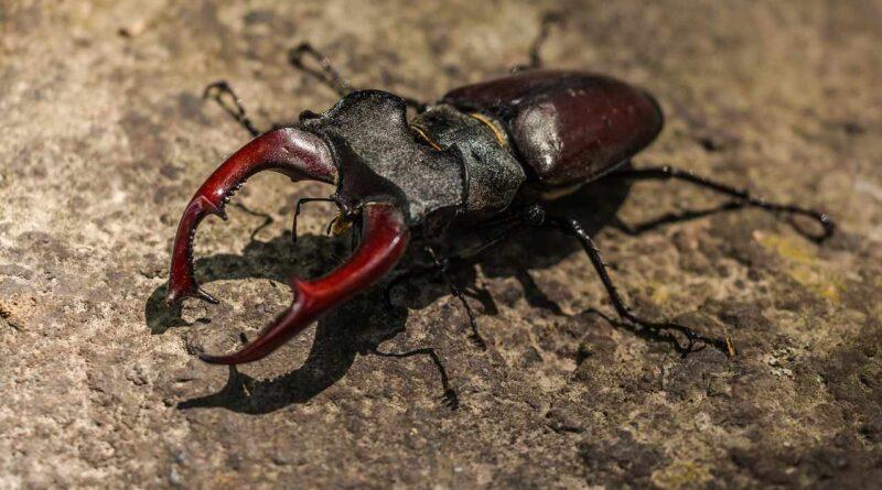 owady jelonkowate