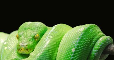 zielony pyton