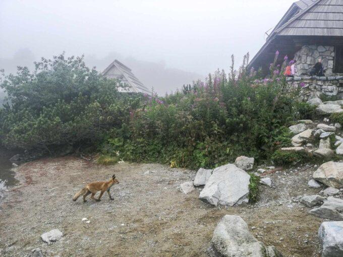 Lis w Górach