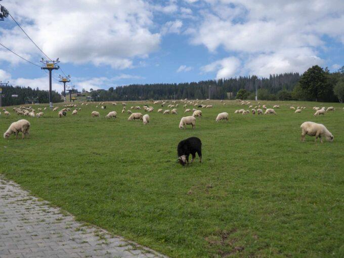 Wyciąg narciarski i owce