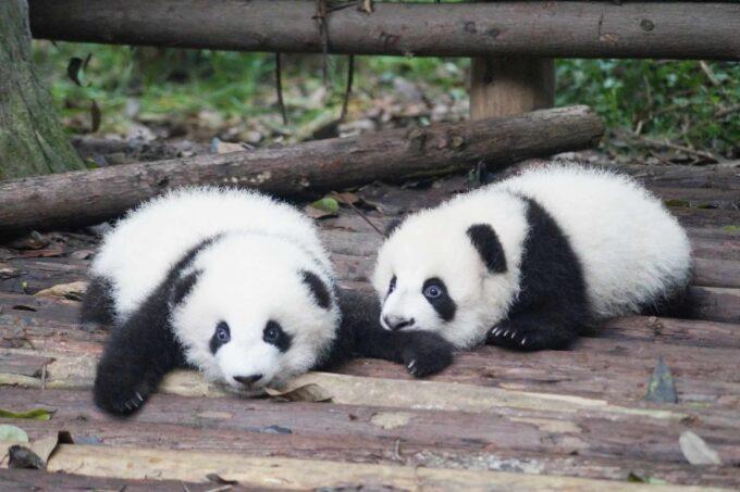 2 młode pandy